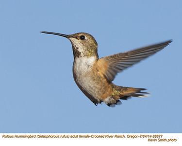 Rufous Hummingbird F28877.jpg