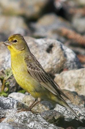 Chirihue Yellow Finch