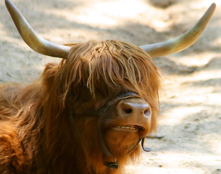 """A Canadian bull.  Somebody next to us said, """" I think it's bangs need to be trimmed!"""""""