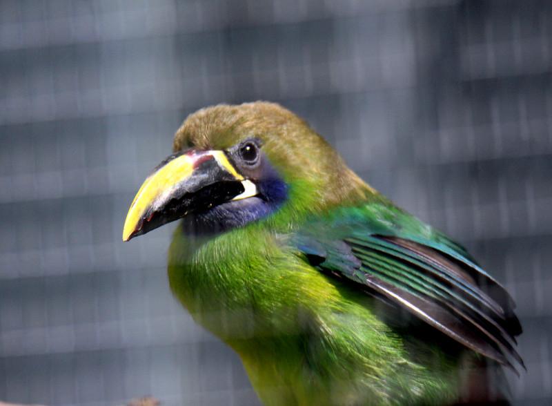 Emerald Toucanet -- Toucan Rescue Ranch
