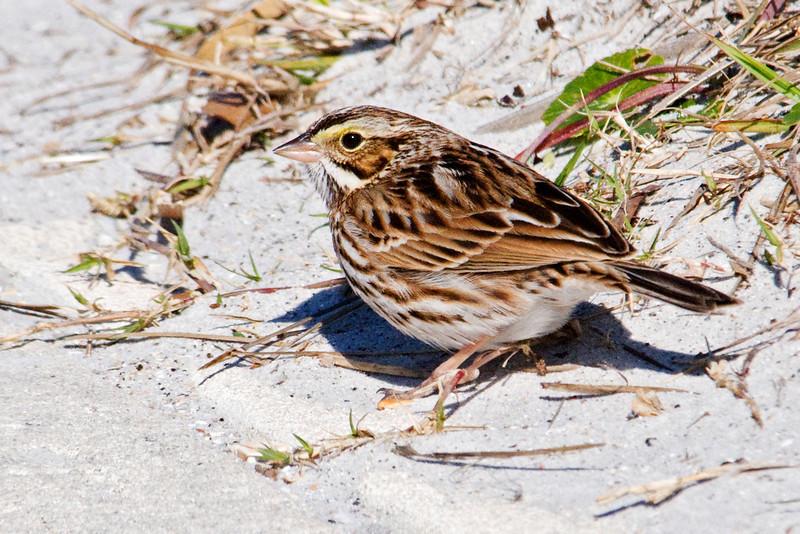 Sparrow - Savannah - Anastasia State Park - St. Augustine, FL