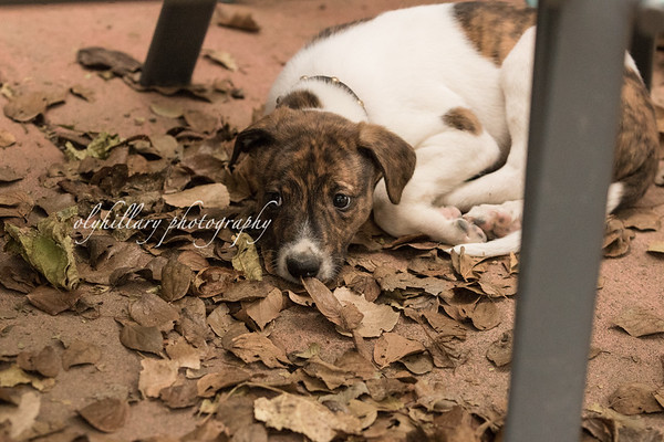 Magyar Agar Puppies