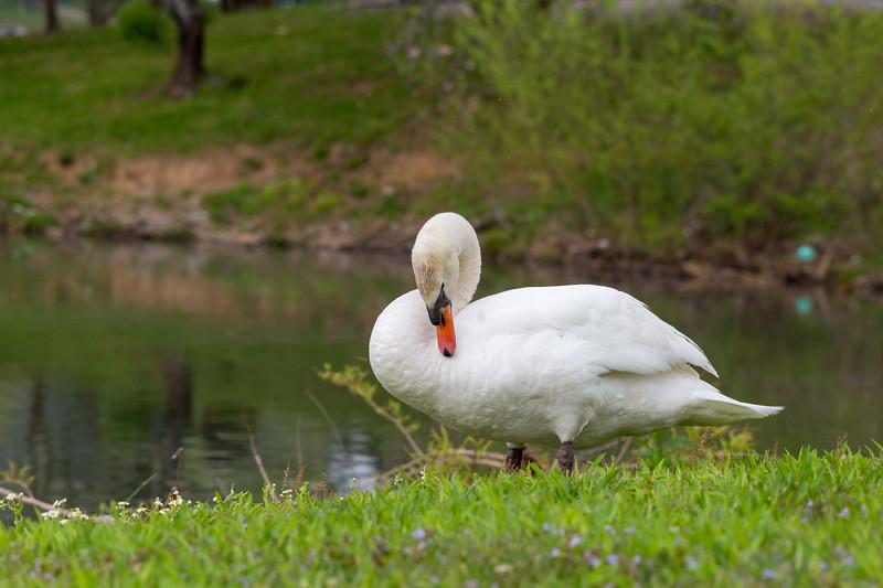 mute swan_-26.JPG
