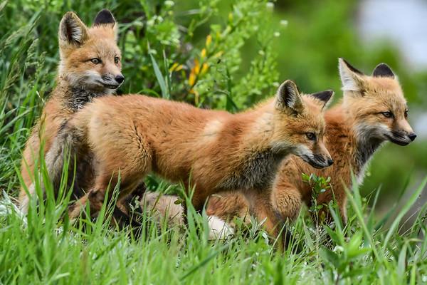 6-9-17 Red Fox Pups Album 3/3