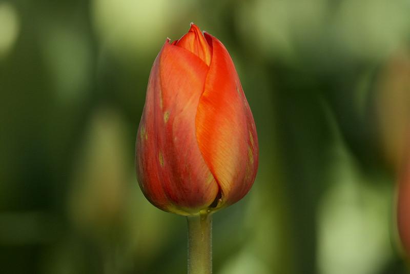 Tulips 08 016.JPG