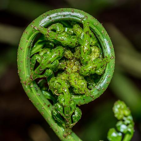Hen and chicken fern - Asplenium bulbiferum