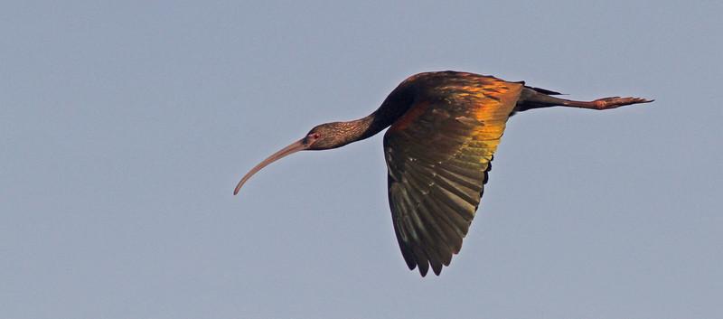 ibisflightwingsdownorange1600.jpg