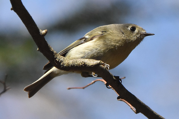 Kinglets (Ruby Crowned)