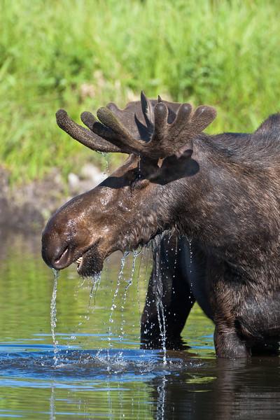 Bull Moose Dripping 0709.jpg