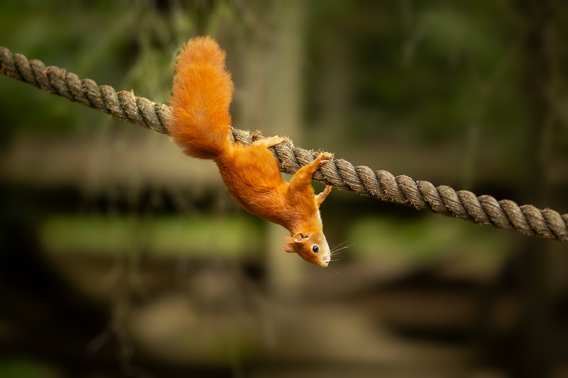 2020 - Red Squirrel 011