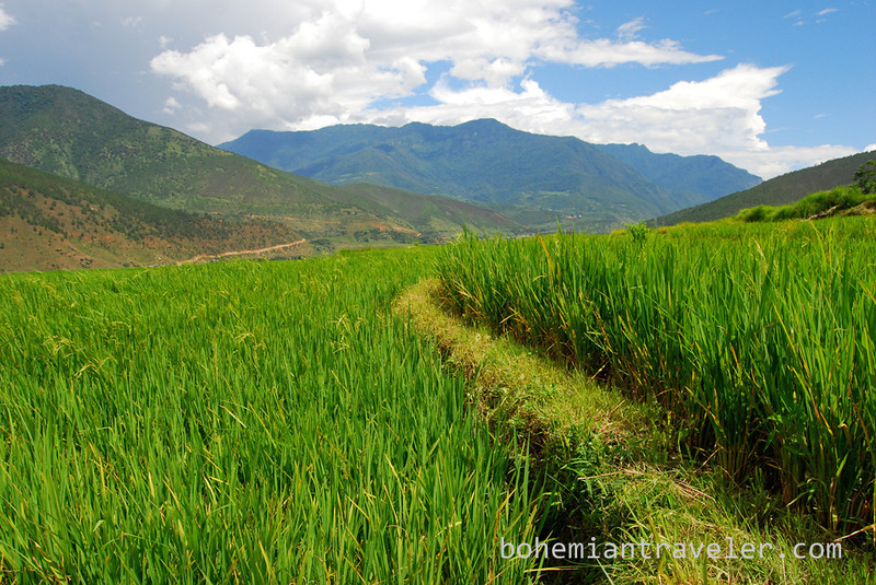 rice paddies around Divine Madman temple Bhutan (4).jpg