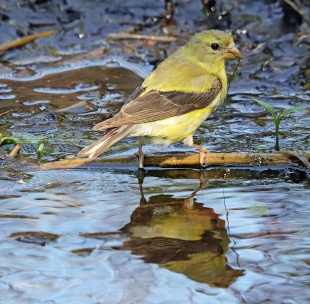 Female goldfinch 11