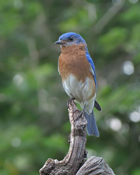 sx40_bluebird_ben_boas_ 012.jpg