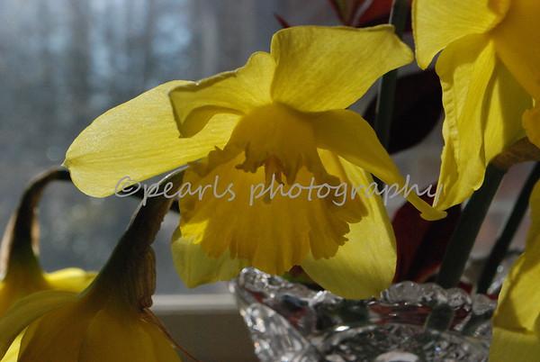 Daffodils 0309