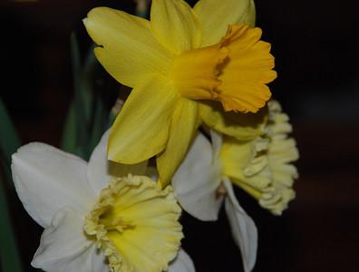 2012 04 03: Daffodils, Cut Flowers