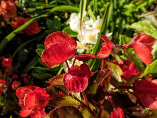 Begonias - outdoor plants