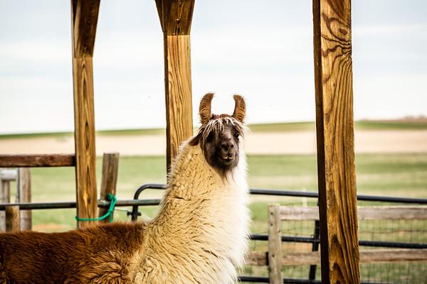 Llama Selects