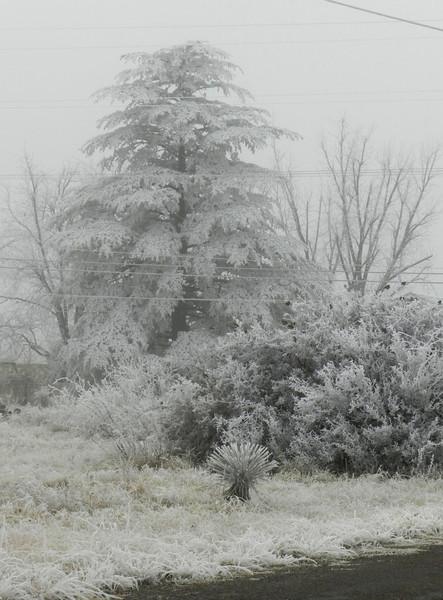 Icy Fir.jpg
