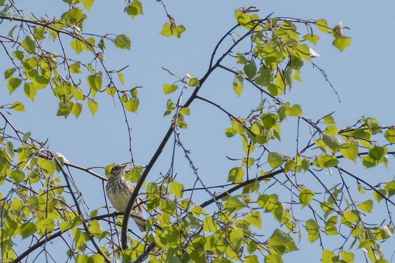 lerka | woodlark | lullula arborea