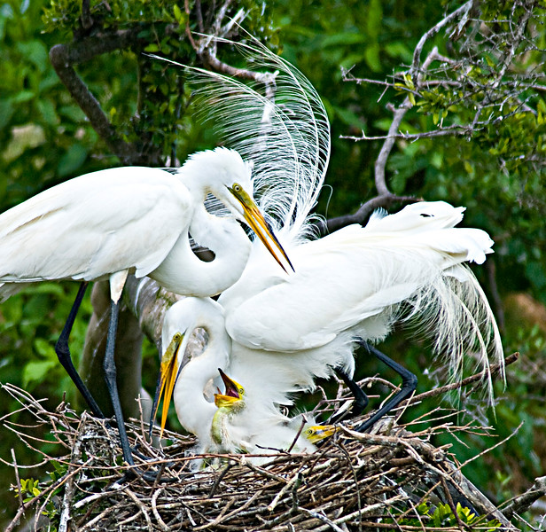 egret family 3sharpen.jpg