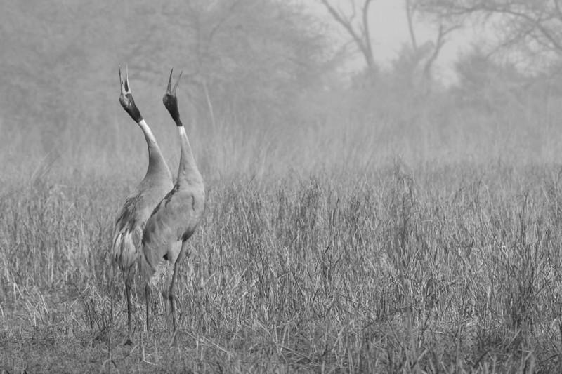 Saurus-Cranes-calling-out-bharatpur.jpg