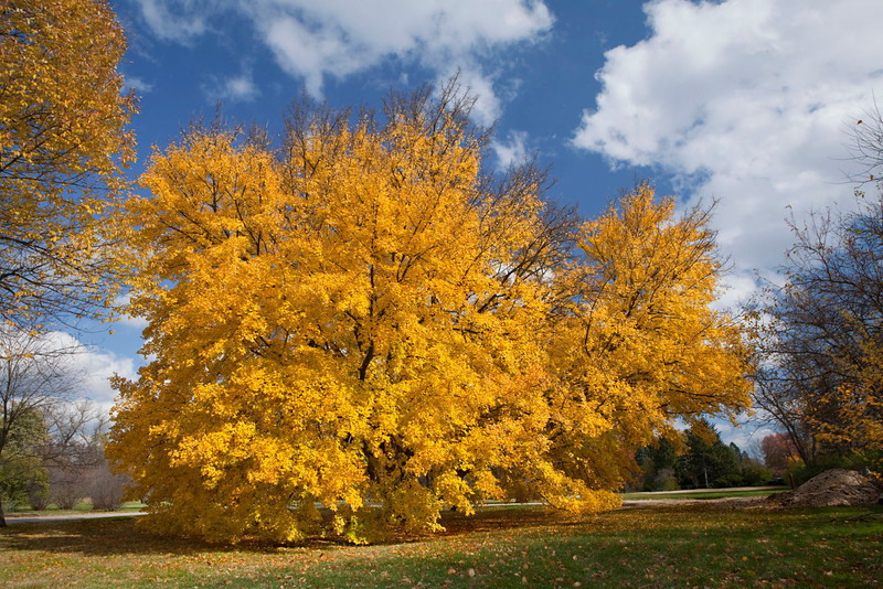 Magnificent yellow maple, Illinois
