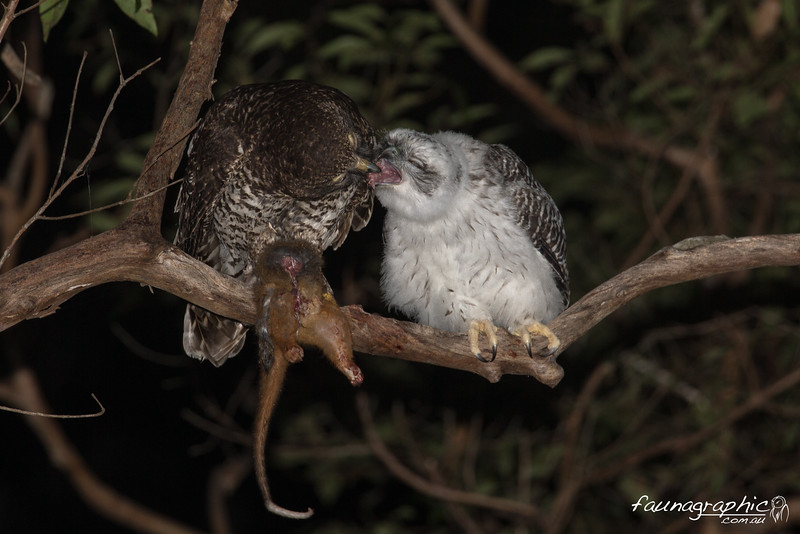 Adult Powerful Owl feeding Fledgling