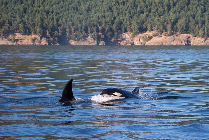 Orcas -  073115-725.jpg