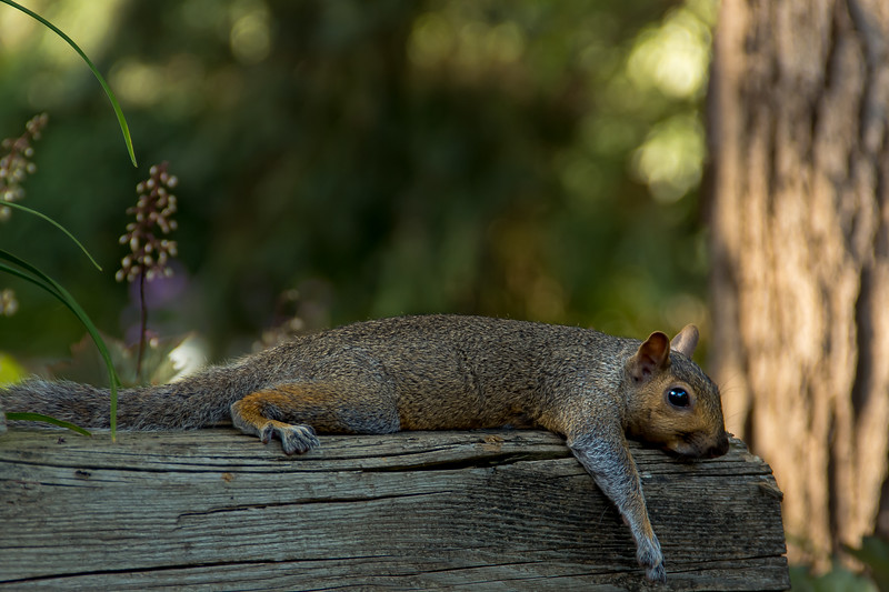 Squirrel Cooling Off on a Wooden Beam