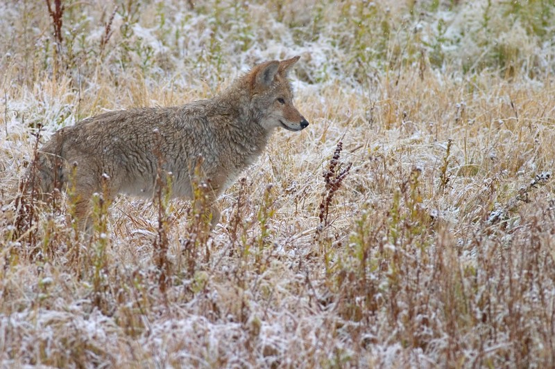 Coyote Pastels Yellowstone 764_6469.jpg