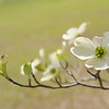 The dogwoods are blooming too . . .