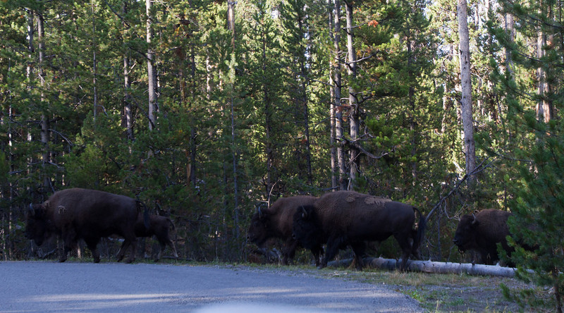 As we continued north the cars were stopped.  The reason became apparent as a her of bison appeared from the trees to take over the road.