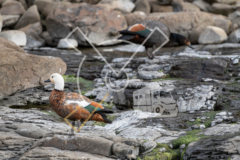 A pair of Paradise shelduck foraging on the rocky coast of the petrified forest in Curio Bay