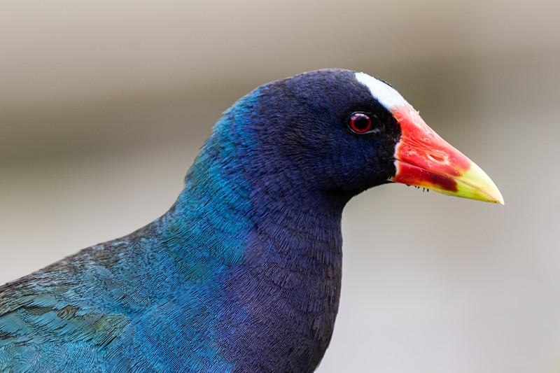 Purple Gallinule in Profile-6794.jpg