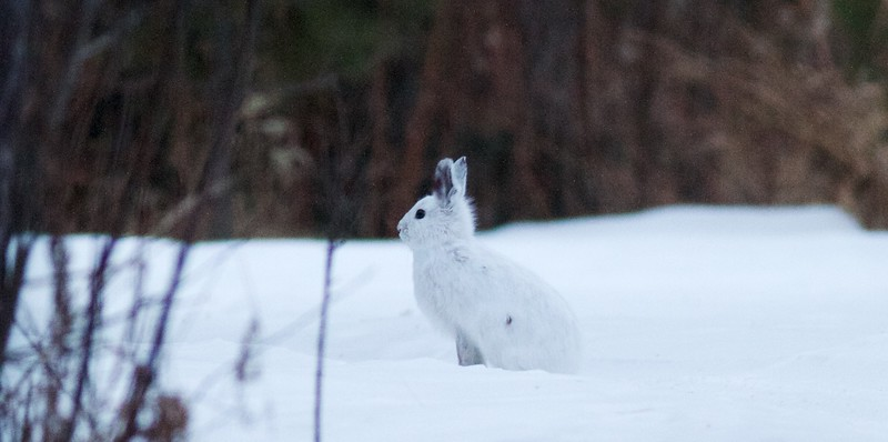 Snowshoe Hare Gene Letty's homestead CR104 Carlton Co MN IMG_3279.jpg