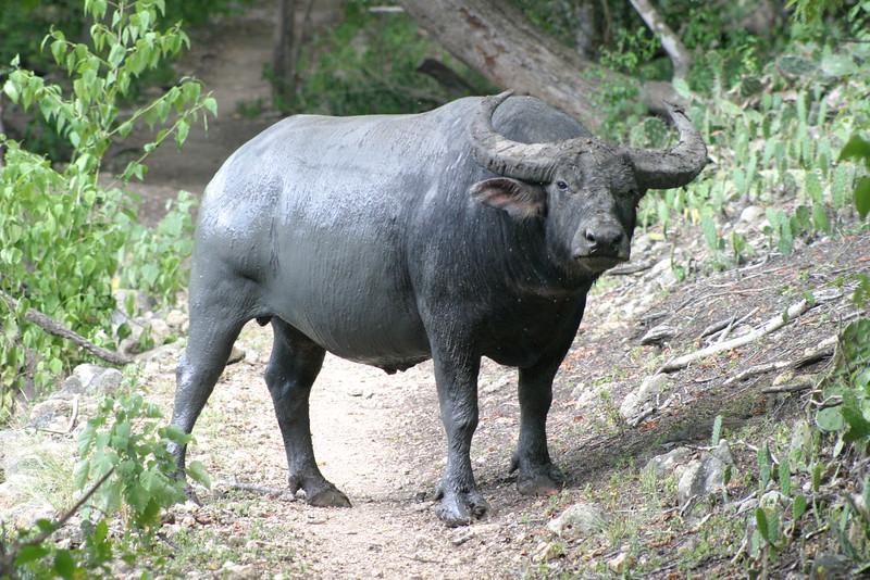 IN310-buffalo.JPG