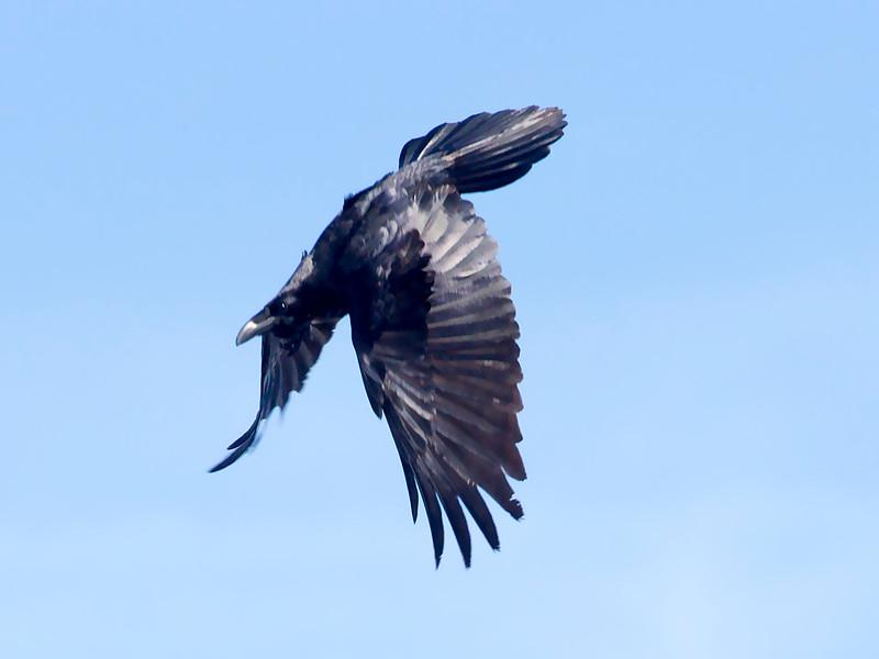 Raven diving.