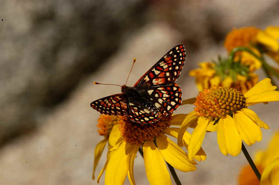 Variable (Henne's) Checkerspot