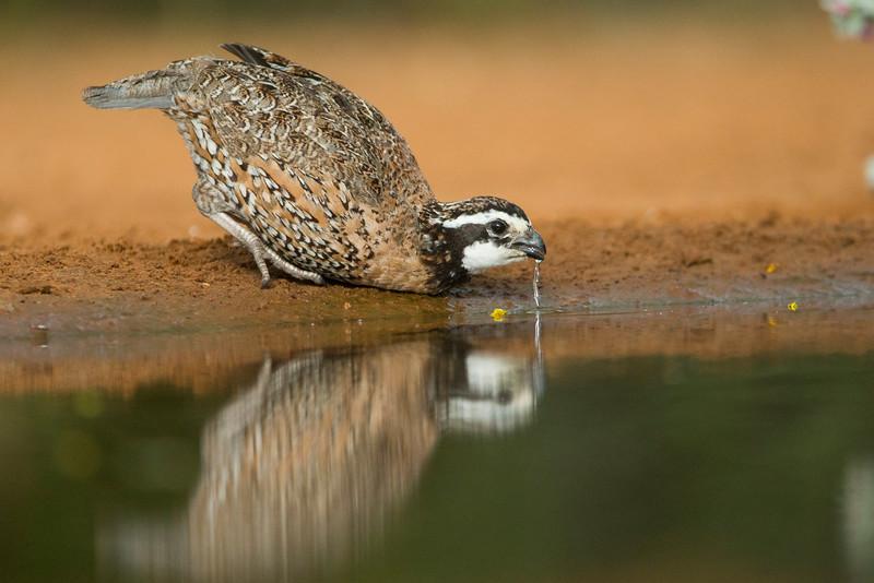 male quail.jpg