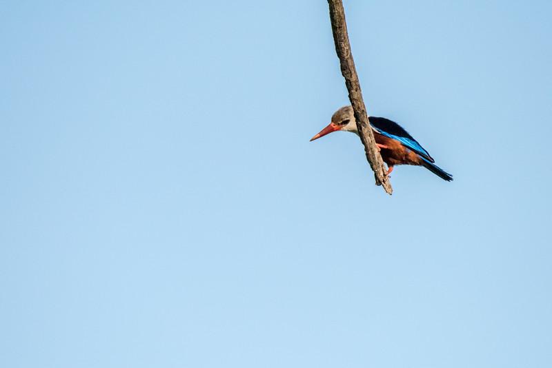 Grey-headed kingfisher, Halycon leucocephala, Samburu-2.jpg