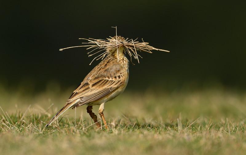 Paddy-field-pipit-nesting-material-kolar.jpg
