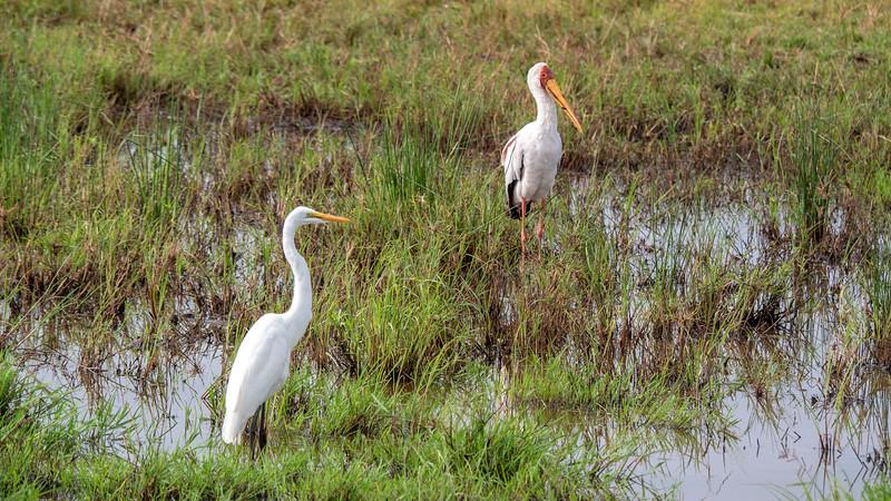 Tanzania-Serengeti-National-Park-Safari-Yellow-Billed-Stork-2.jpg