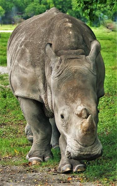 Rhino Coming.JPG