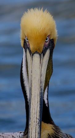 aaGalveston 3-3-2017 Pelicans 005A.jpg