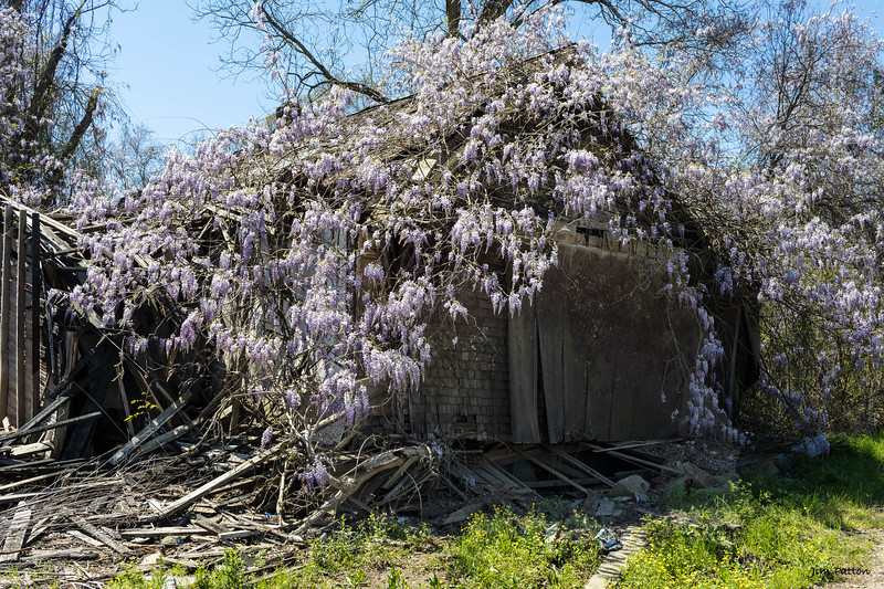 Wysteria and ruins