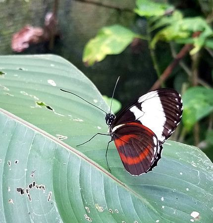 Grinning Heliconian - Heliconius cydno
