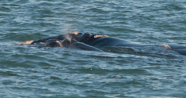 Right Whale March 1, 2010