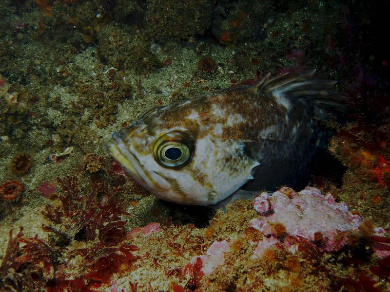 Kelp Rockfish Showing his best side!