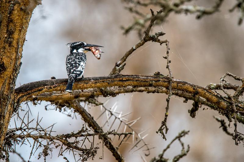 Pied kingfisher, Ceryle rudis-1.jpg