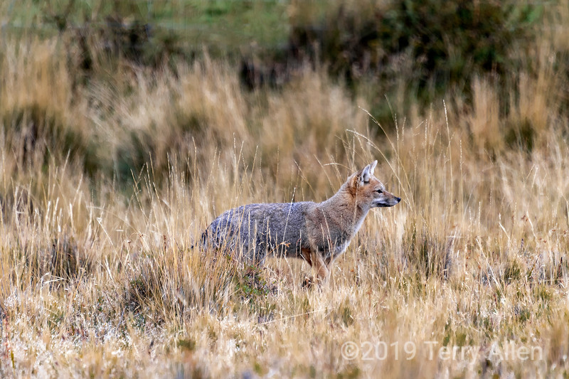 Andean fox (Lycalopex culpaeus) hunting in the tall dead grasses, Torres del Paine, Patagonia.jpg